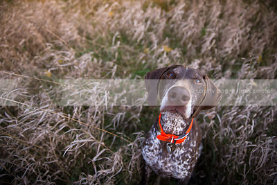 serious brown pointer dog looking upward from dried grasses