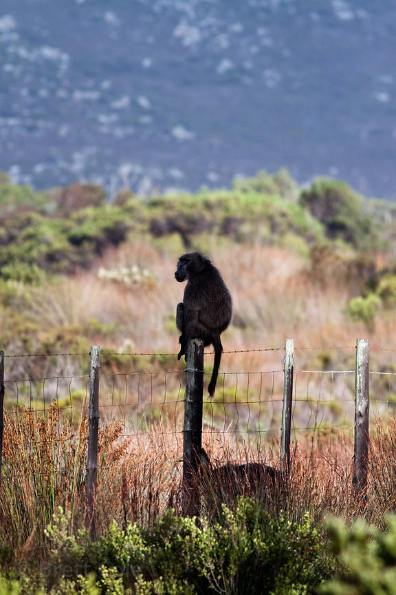 Chacma baboon from the Plateau Road troop sitting on the fence that marks the boundary of the national park, along Plateau Ro...