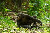 Chimpanzee hooting, Pan troglodytes, Mahale Mountains National Park, Tanzania