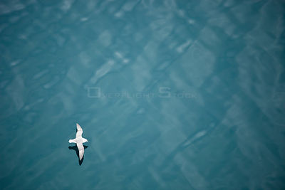Fulmar (Fulmarus glacialis) flying over sea, Iceland.