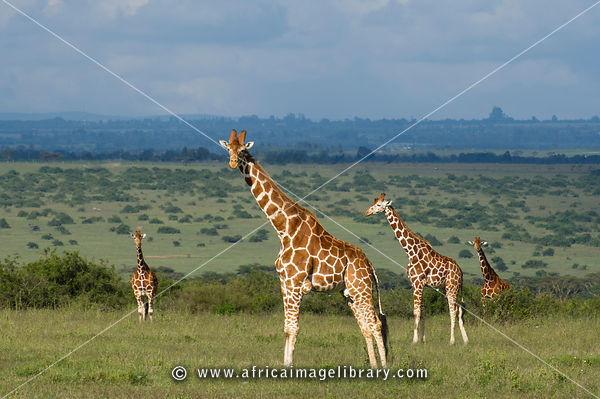 Reticulated giraffe ( Giraffa camelopardalis reticulata), Solio Game Ranch, Laikipia, Kenya