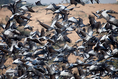 Demoiselle Cranes (Anthropoides virgo) in the rural village of Khichan, near Jodhpur, Rajasthan, India