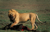 Lion kill, panthera leo, Maasai Mara National Reserve, Kenya