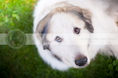 headshot of sad white dog looking upward with minimal background