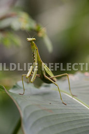 praying_mantis_cloud_forest-22