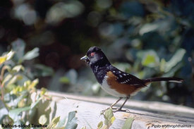 April - Spotted Towhee