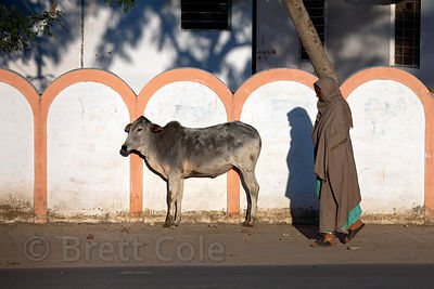 A cow walks near the stadium at sunrise in Pushkar, Rajasthan, India