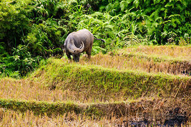 Buffalo Grazing in Rice Paddy