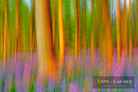 Beech forest (fagus sylvatica) with bluebells blurred - Europe, Belgium, Flanders, Halle, Hallerbos - digital