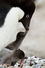 A adelie penguin feeds its small chicks at the Antarctic Peninsula.