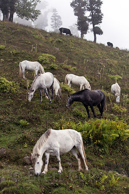 Horses graze on a slope on the way to Rohtang Pass, Manali, India