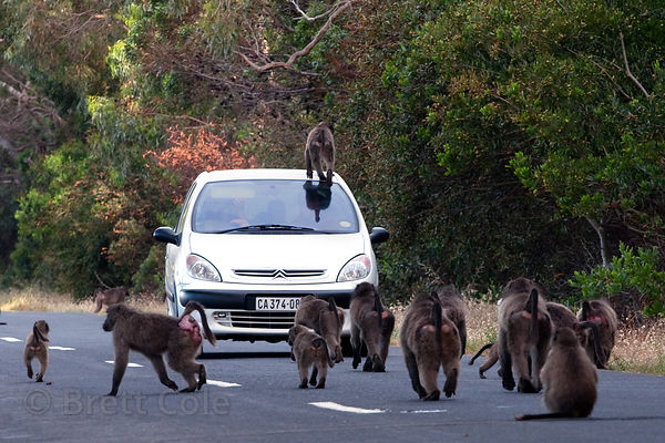 The Plateau Road troop of chacma baboons walks along Plateau Road near the ostrich farm, Cape Peninsula, South Africa