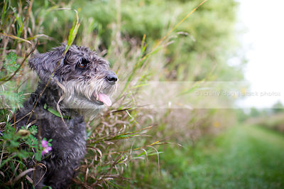 small grey groomed dog hiding in grasses