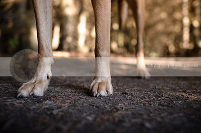 tan dog legs and paws standing in pine needles with sunshine