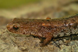 Notophthalmus  viridescens - Eastern Newt, Broken-Striped Newt, Central Newt, Peninsula Newt, Red Spotted Newt