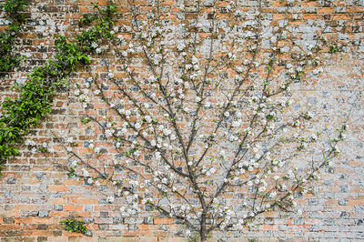 Fan trained apple tree in the Walled Garden. Rousham House, Bicester, Oxon, UK