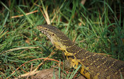 Nile monitor, Vanellus niloticus, Shire river, Liwonde National Park, Malawi
