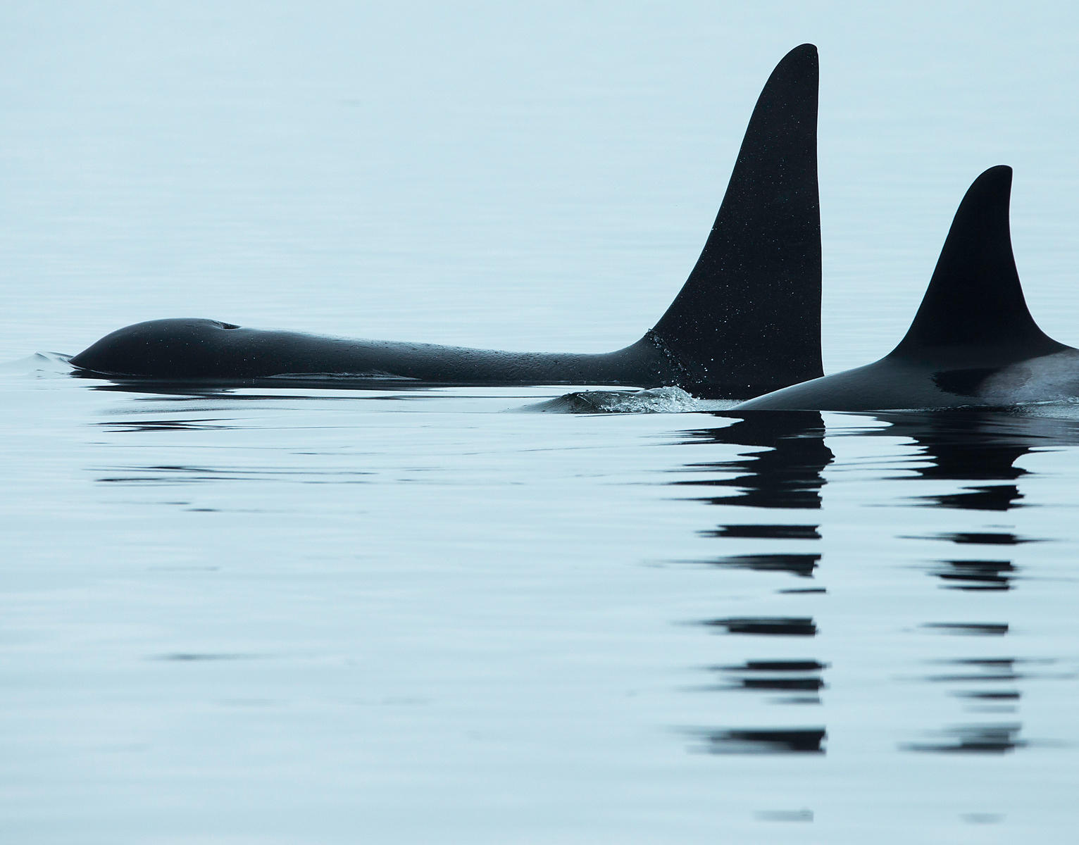 Orca in repose in the calm waters of the Johnstone Strait, off British Columbia in the famed Blackfish Sound, home to several...