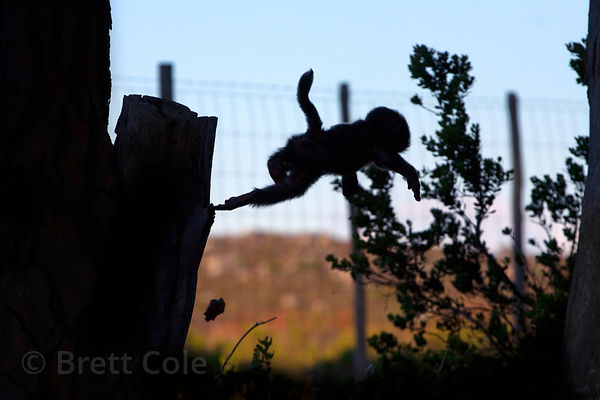 A baby baboon from the Plateau Road troop is silhouetted while playing in a tree near the fence marking the edge of Table Mtn...