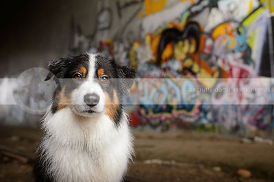 portrait of serious tricolor dog at urban graffiti train tunnel