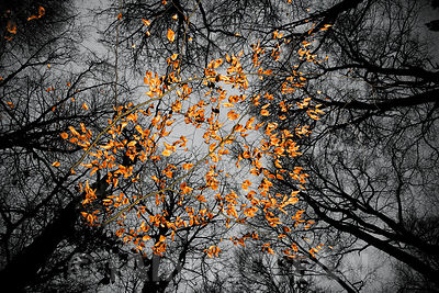 Leaves in Pollok Park, Glasgow 2010...SINGLE USE ONLY..FURTHER USEAGE BY NEGOTIATION. NO SYNDICATION, MERCHANDISING OR MARKET...
