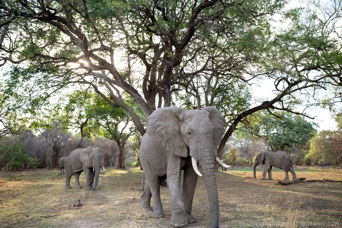 African Elephants, in the South Luangwa National Park, Zambia.