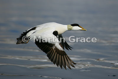 Male Eider (Somateria mollissima) in flight, Holmiabukta, Svalbard, Norway