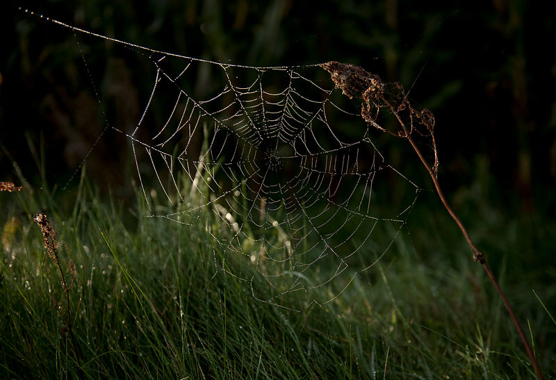Cobweb in morning light #5