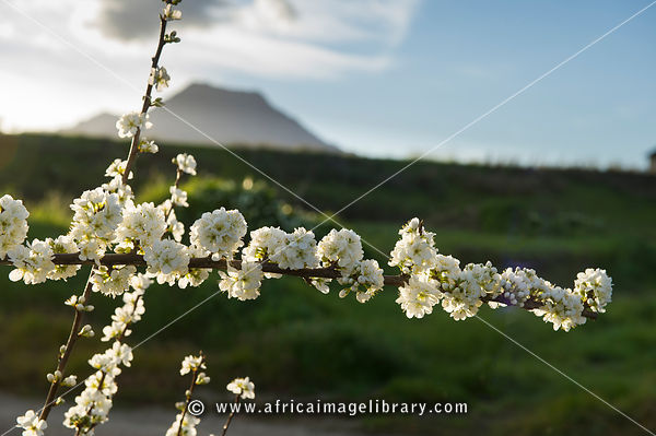 Fruit tree blossoms at the base of the Winterhoek Mountains, Tulbagh, South Africa