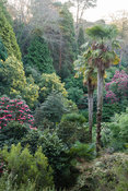 Trachycarpus fortunei, Chusan palms, shoot up amongst a dense mix of Rhododendron arboreum hybrids, bamboos and yellow flower...