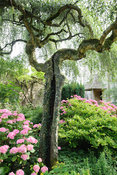 The Leisure Garden with pink hydrangeas below a weeping birch, Betula penula 'Youngii'. Rodmarton Manor, Rodmarton, Tetbury, ...