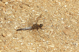 Oeverlibel - Orthetrum cancellatum - male