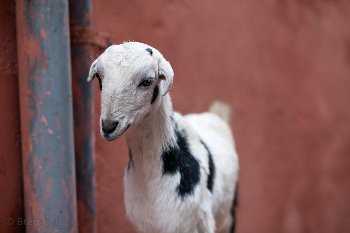 Baby goat on the street in Bundi, Rajasthan, India