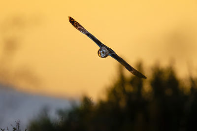 Short-Eared Owl Hunt