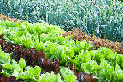 Neat rows of colourful lettuce in the walled kitchen garden, with leeks behind and dahlias beyond. Forde Abbey, nr Chard, Dor...