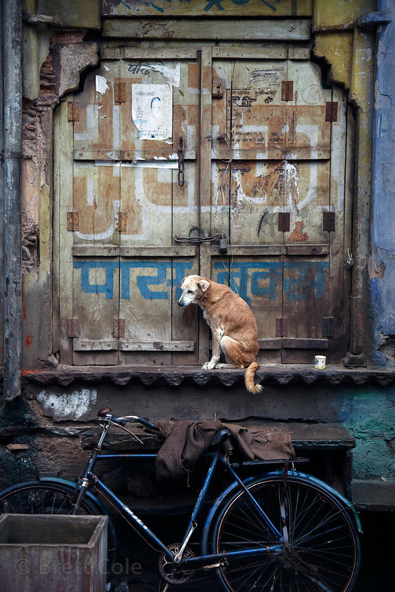 Downtrodden dog shivering in cold rain in Bundi, Rajasthan, India