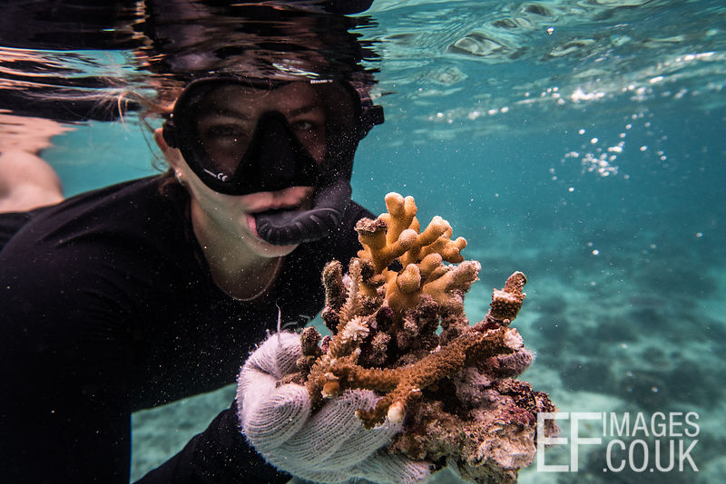 Ana, a TRACC volunteerfrom Brazil collects broken and damaged coral fragments to plant on new reef structures made by TRACC. ...
