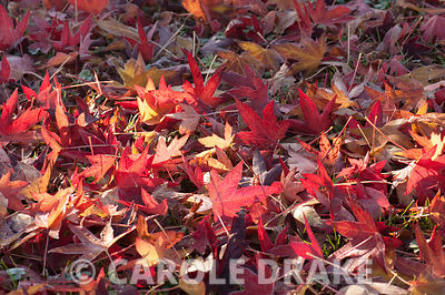Carpet of liquidambar leaves. Chiffchaffs, Bourton, Dorset, UK