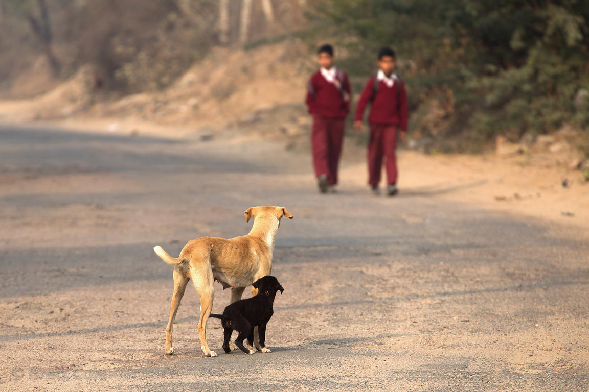 Boys walk to school in the morning as a street dog mom and pup bark at them, probably hoping for some food, Aaram Baagh, Raja...