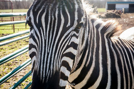 A zebra at a Horse Rescue foundation in rural Maryland.