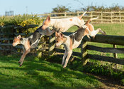 Cottesmore hounds Jumping a hunt jump near the meet. The Cottesmore Hunt at Hill Top Farm 11/12