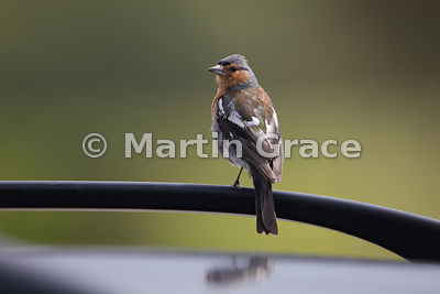 Male Common Chaffinch (Fringilla coelebs) perching on a car roof bar, Lochbuie, Isle of Mull, Scotland