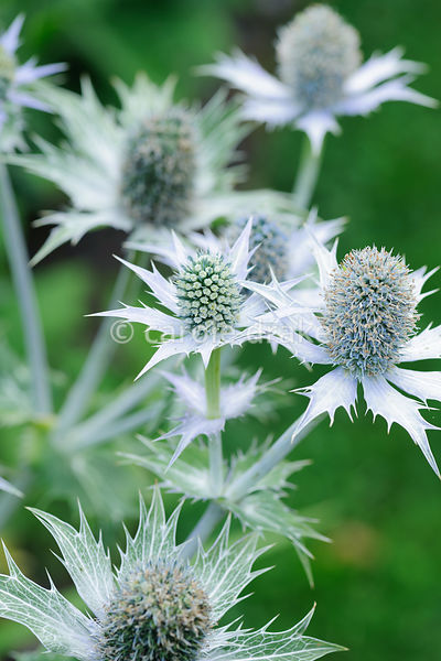 Prickly eryngium. Rodmarton Manor, Rodmarton, Tetbury, Glos, UK