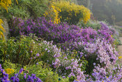 The Classical Herbaceous Border including tall Solidago 'Golden Wings' at the back and a mass of asters and rudbeckias in fro...