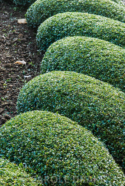 Newly clipped box in the Parterre Garden. Bourton House, Bourton-on-the-Hill, Moreton-in-Marsh, Glos, UK