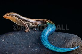 Gran Canaria blue-tailed skink (Chalcides sexlineatus)