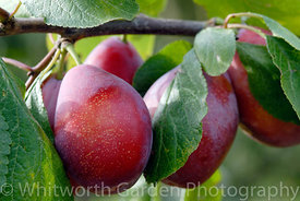 Prunus domestica 'Giant Prune'. © Rob Whitworth
