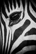 7323-Eye_of_zebra_South_Africa_2008_Laurent_Baheux