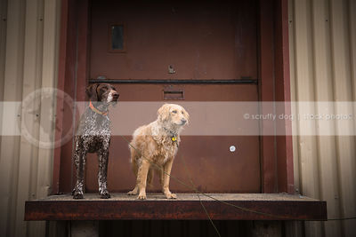 two dogs standing on platform of urban painted steel door