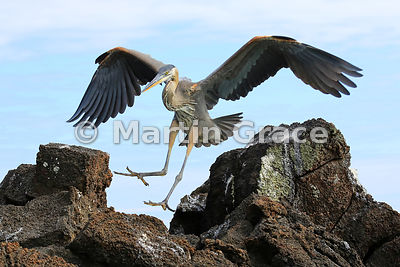 Great Blue Heron (Ardea herodias) in flight, about to land, Bahia Ballena, Santa Cruz, Galapagos